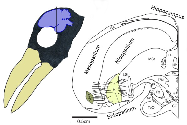 Brain of a jungle crow in relation to its head. Coronal slice at the location that I indicated on the left side (my guess). The fibers between E (Entopallium) and MVL are sort of sensory pathways coming from thalamus (via TFM). Both pictures modified from [6].