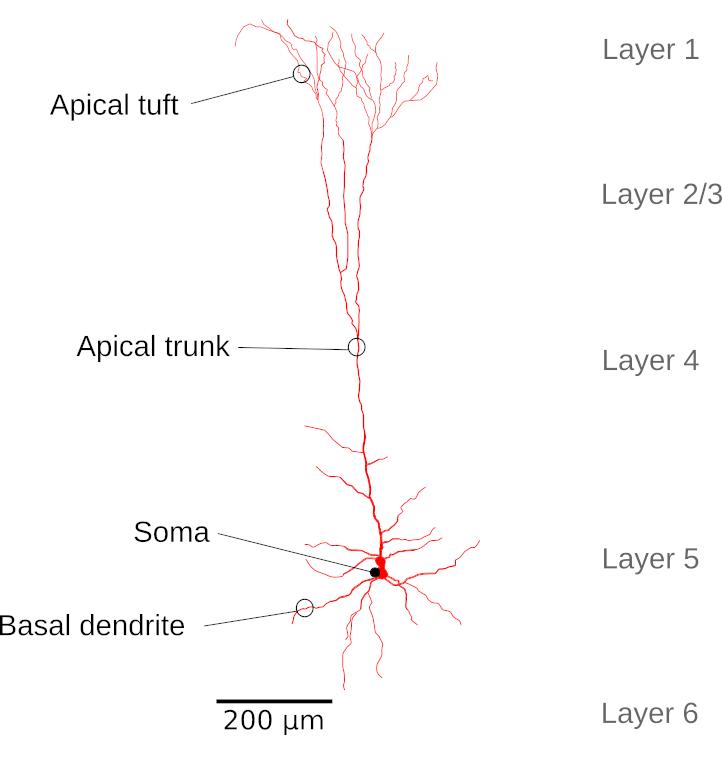 L5 neuron